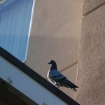 pigeon on hotel in the morning