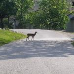 deer roamed abundantly