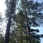  East Texas Pine Trees