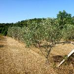  They have olive orchards