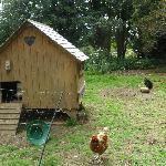  the chickens busy laying eggs for breakfast