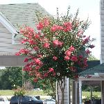  Pink crape myrtle bush growing in parking lot added to the overall appeal of the hotel!