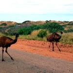  Emus