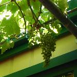 Grapes on the Patio