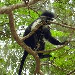  Colobus angolensis
