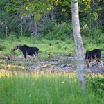  Moose at the DOT about 1mi south of campground