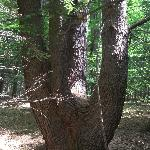 Multi-trunk pine on the Knight Woods trail