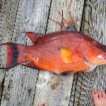 Hogfish speared nearby.
