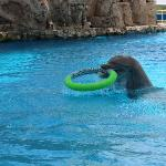 The dalphon playing with his tube on top of the water.  More fun!