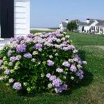 Hydrangea at the entrance of Kalmar Village