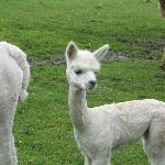  Baby alpaca