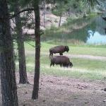 A few buffalo wondered right by our cabin just after diner. We were staying in cabin #1. It wa