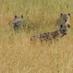 Multiple hyenas