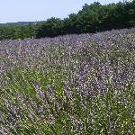 Lavender in front of me