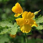  Wood Poppy
