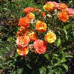 Various Rose Species in Garden