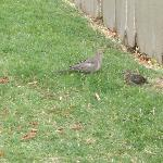  A family of doves on the grounds of Residence Inn OK West