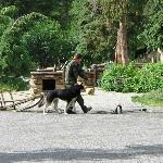 Alaskan Husky sled dog getting ready for sled show