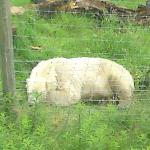 Polar Bear , a big one . Kincraig