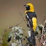 Hooded Oriole at the farm