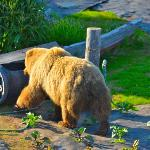 Bear strolling through Sheila's garden