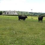 Black Angus beef cattle on the farm at the B&B