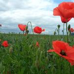  Wild poppies outside Saint-Witz