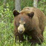  another grizly bear... beautifullllll