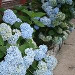  Gorgeous Hydrangeas in garden!