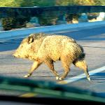 Javalina walking on hotel property