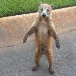 The cutest Coati...Not a monkey