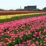 Beautiful fields of Flowers in March/April