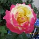 Rose at Victoria Skylar B&B