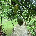 Big mangoes outside our room