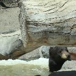  Black Bear cooling off after lunch