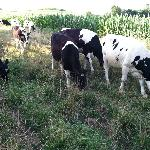 Cows walking by just outside the house