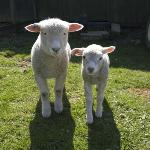  Rosie &amp; Jim, our pet lambs