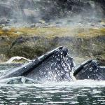 Whales bubble net fishing during charter with Cap'n Toni