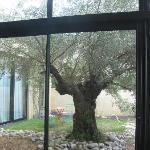1000+ year old olive tree