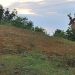 buck on the property at dawn