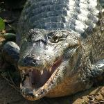 RAD Zoo is home to many Alligators, Caimans and Crocodiles!