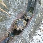 two of about 4 - 5 tortoises making there way about the yard