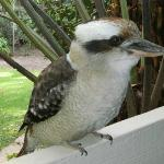  Kookaburra on the front Verandah