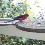 Rosella on the front Verandah