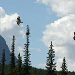  Osprey in flight near TransCanada Highway &amp; Bow Valley Parkway (Hy 1A)