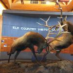 fighting elk