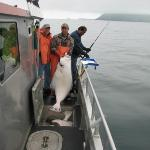  A 127 pound halibut
