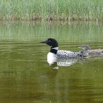 Loon and youngster.