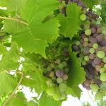  more of the grapes from the terrace