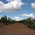 olive grove next door
